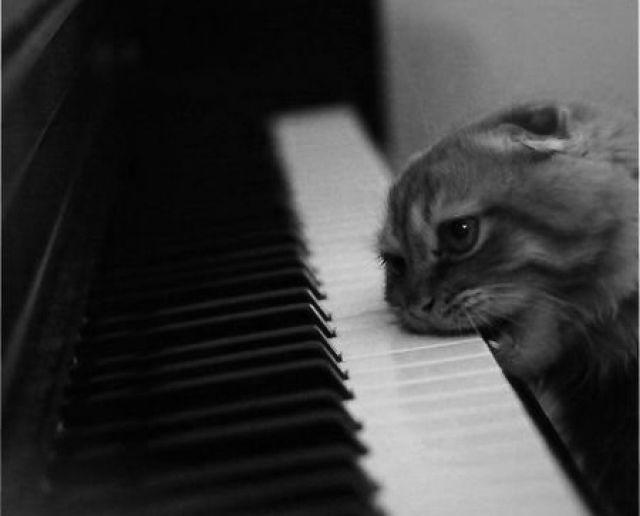 Chat mordant un piano